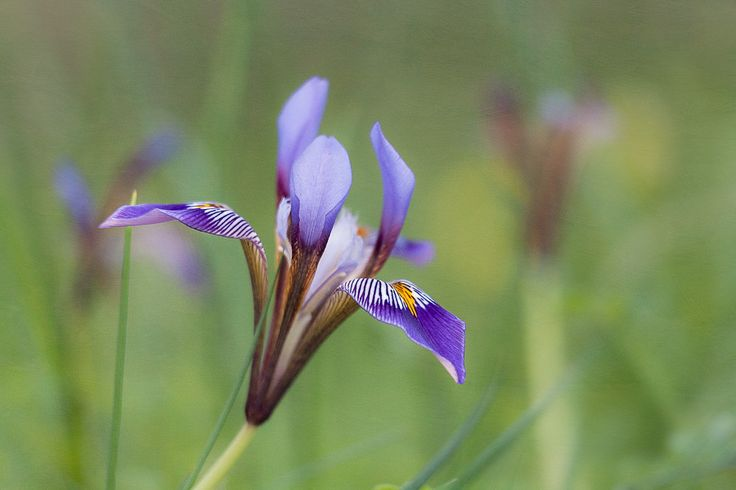 Cretan Iris (Iris unguicularis ssp. cretensis). Available as canvas/print on 500px Art.