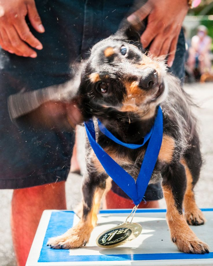 During Memorial Day weekend more than 60 dogs took part in the annual Wiener Dog 100 race at Lake Compounce in Bristol, Connecticut