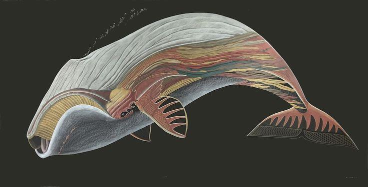 Tim Pitsiulak - Bowhead Whale 48 x 96 Coloured pencil on paper