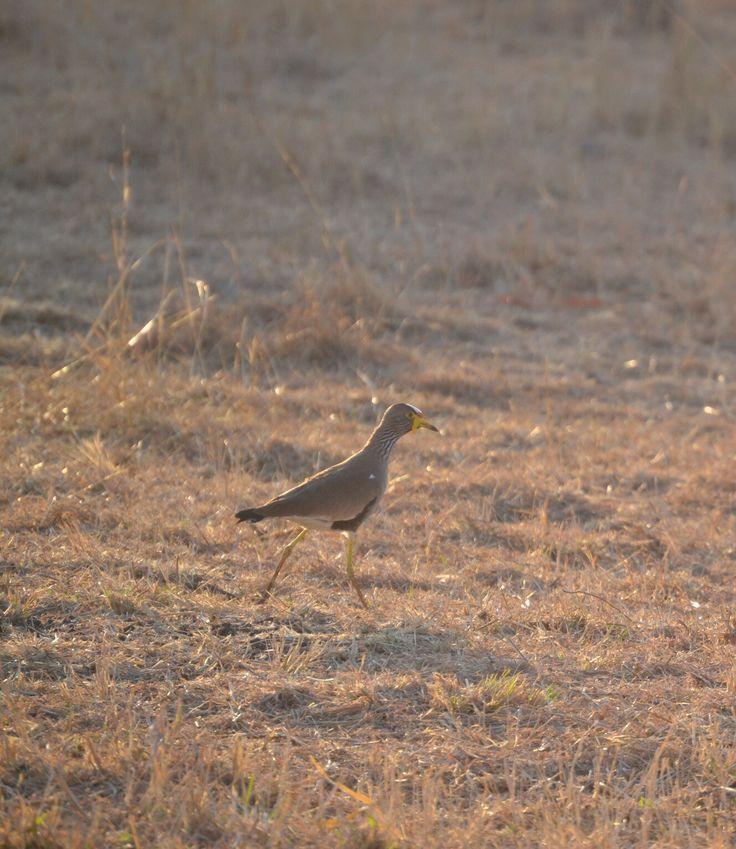 Wattled Plover at Sondela