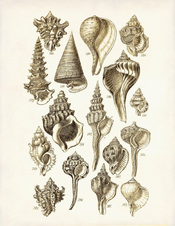 Vintage Seashells 1 - A mid 1800s George Sowerby 8 x 10 Scientific Illustration Art Print. $9.99, via Etsy.