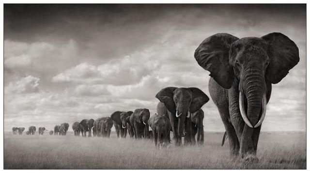 Vós Fotografais: Animais Africanos - P&B