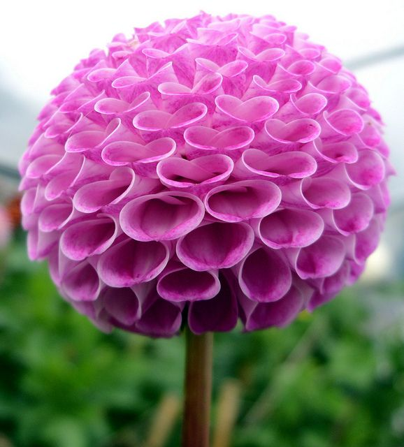 Pom Pom Dahlia (Probably my fave.  it makes me so happy(