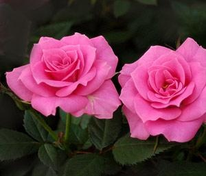 rose june birth flower - ill get a rose for my sister, she's a june baby
