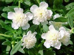 Portulaca Oleracea  Purslane White
