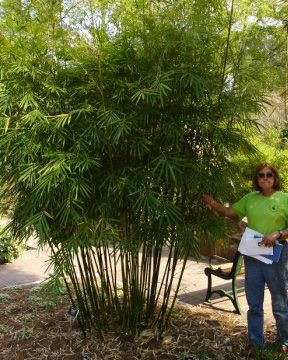 Pin On Fl Trees Palms Bamboo Lg Shrubs