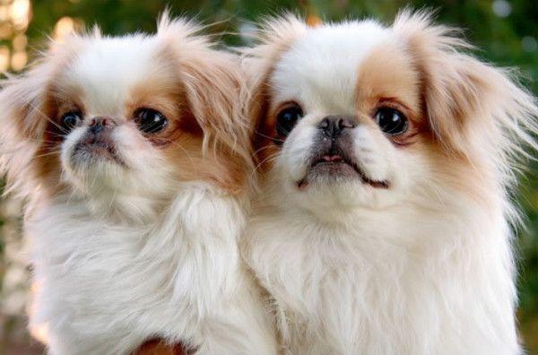 Japán kutyafajták: felülvizsgálatát minden képviselője Japán Chin
