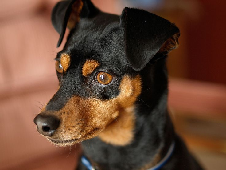 pictures of mini pins | Add photos Miniature Pinscher dog face in your blog: