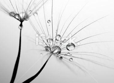 Dandelion seed macro Royalty Free Stock Photo