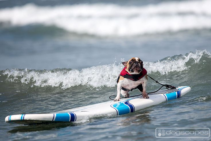 This frenchie is getting a feel for surfing at the Surf Dog Surf-A-Thon lessons at Del Mar Dog Beach, San Diego! dogscapes.com French Bulldog