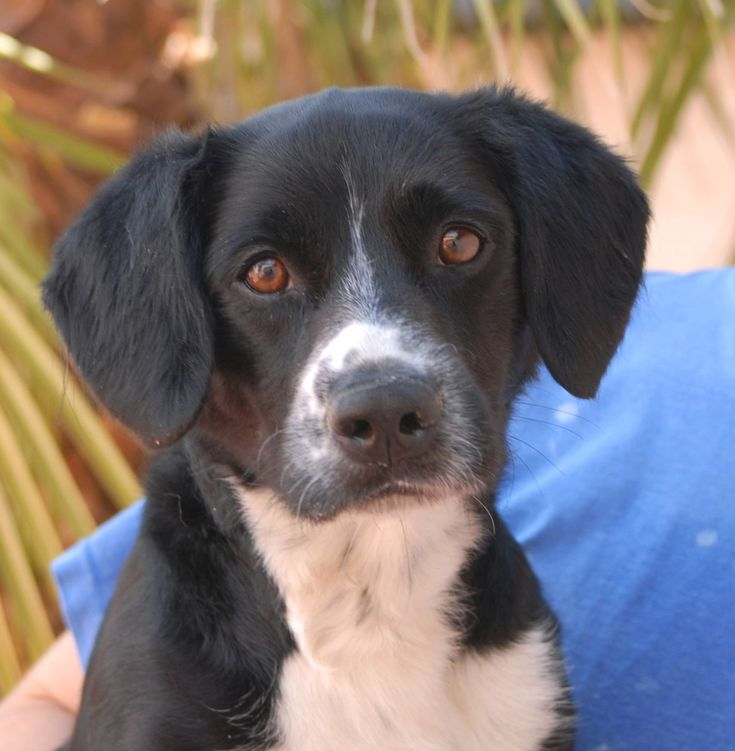 Cosmo is a friendly youngster offering unconditional love in exchange for a forever home.  He is a handsome Beagle mix, 2 years of age and neutered, debuting for adoption today at Nevada SPCA (www.nevadaspca.org).  Cosmo gets along well with other dogs and enjoys going for walks and car rides.
