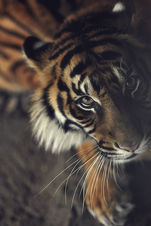 http://www.savetigersnow.org/ In many countries tigers are poached. If a mother is killed the cubs are sold into the black market. Where they are usually tortured to death, or sold to taxidermy while still alive. The taxidermists use lethal, and painful, doses to kill the innocent wild cubs.