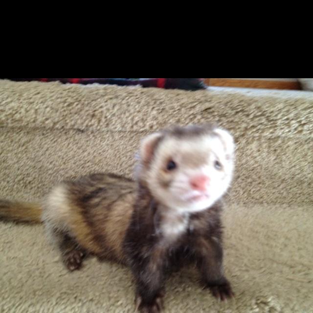 persuasive speech ferrets make good pets