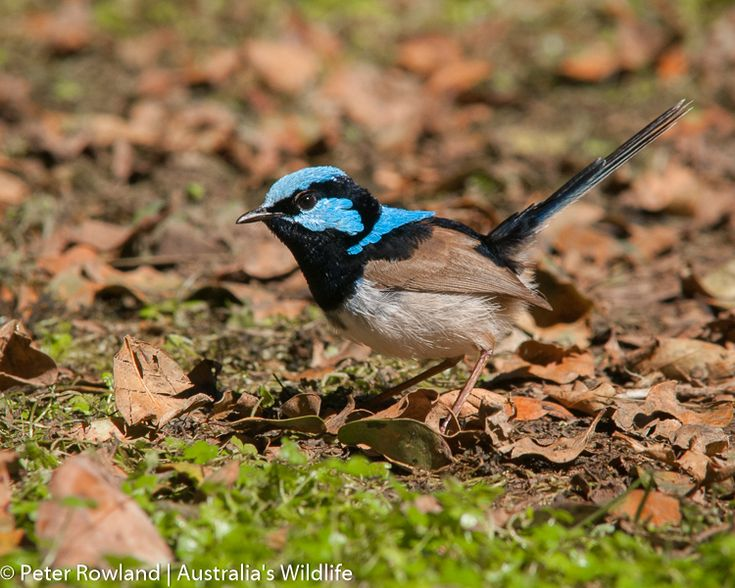 The #Superb #Fairy #wren is perhaps the most #popular #Australia #bird #aus_wildlife