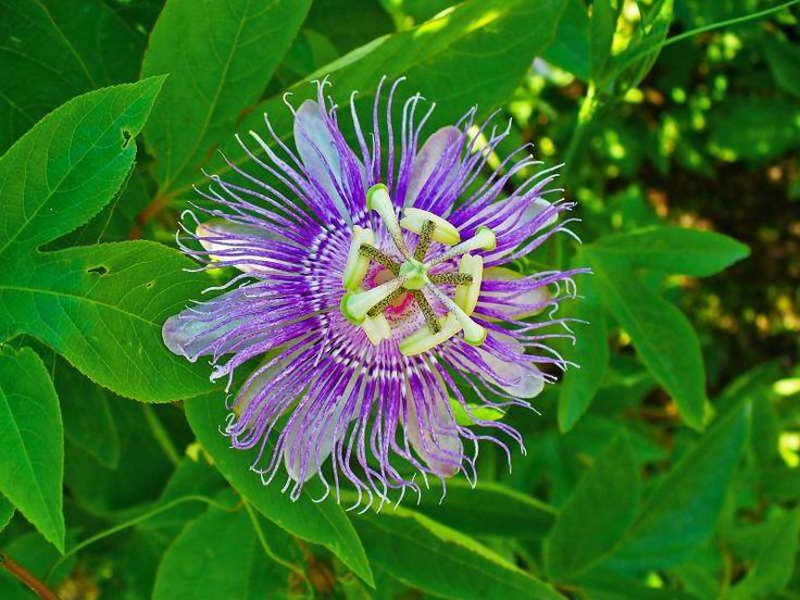 Πασιφλόρα: Το λουλούδι του πάθους Ιδιότητες και χρήση