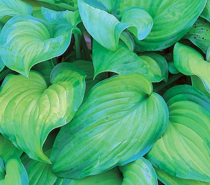 "hosta guacamole, full-part shade, 18"", fragrant blooms july-aug, woodland garden"
