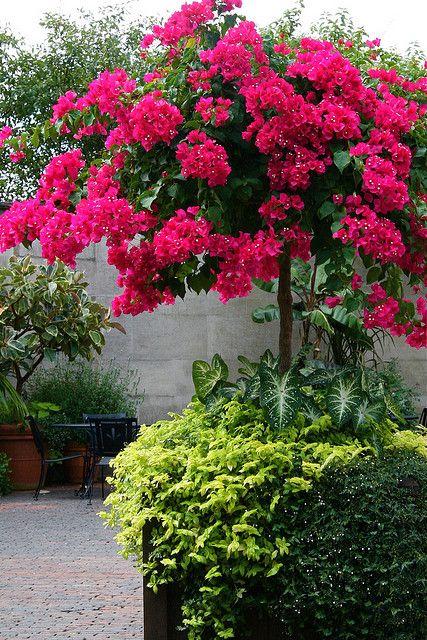 bellisima Bougainvillea para el jardin