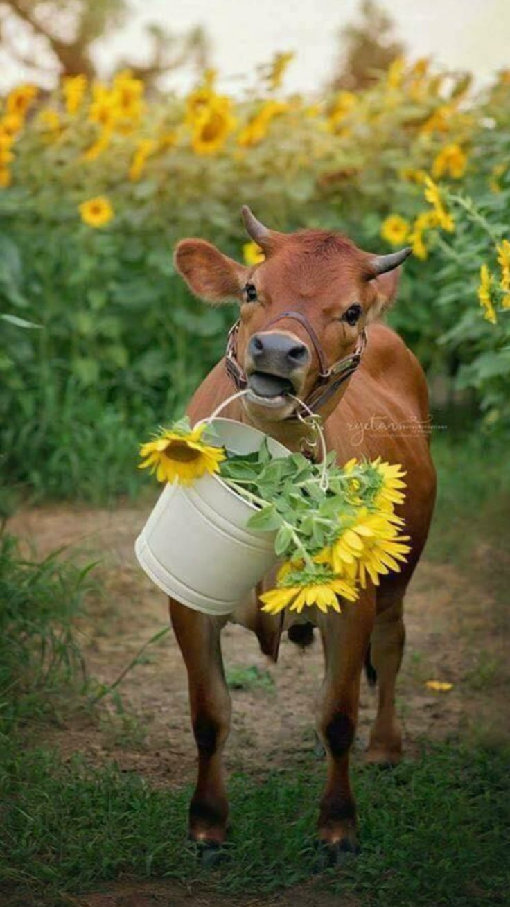 Country with brown cow and bucket of yellow sunflowers