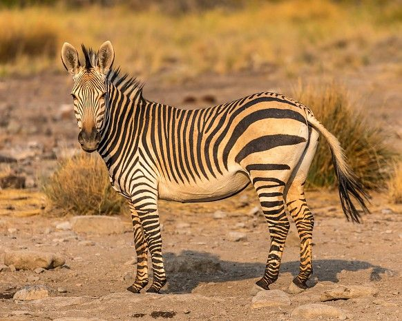 Hartmann's mountain zebra at Desert Rhino Camp