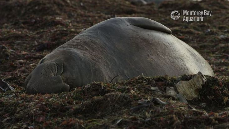 """2,964 Likes, 34 Comments - Monterey Bay Aquarium (@montereybayaquarium) on Instagram: """"Happy 2018! May this new year bring you peace and serenity like an elephant seal sleeping on the…"""""""