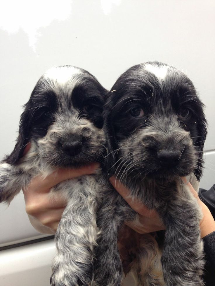 cocer spaniels types with pictures | Gorgeous Show Type Cocker Spaniel puppies | Newcastle Under Lyme ...
