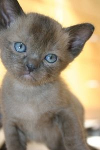 Araburpurr lilac Burmese kitten, he is for sale!!! I had a wonderful lilac Burmese but she was hit by a car when her kittens were six weeks old, still miss her