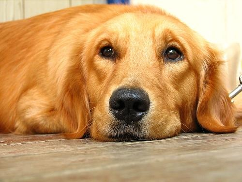 Golden Retriever: Life Happen, Essential Oil, Dogs And Cat, Dogs Cancer, Pet, Camera, Little Dogs, Dogs Life, Golden Retriever