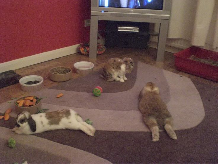 Your House Rabbits Setup Pictures? - Page 7 - Rabbits United Forum