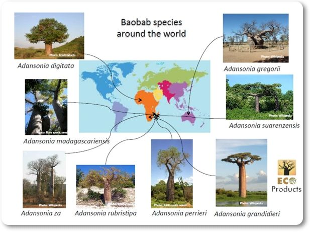 There are 8 different species of Baobab trees 6 of which are native to Madagascar, one in Africa and one in Australia. There's a lot of controversy about where the Baobab tree originated  as it's often been assumed that Madagascar is the centre of origin because it has the most different species. But in fact Africa is the most likely cradle of the Baobab tree!
