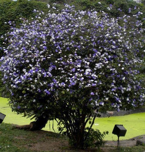 Manacá-de-cheiro ou manacazinho (Brunfelsia uniflora), da família Solanaceae.