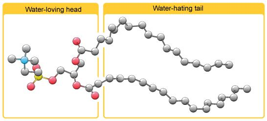 Emulsifier molecules