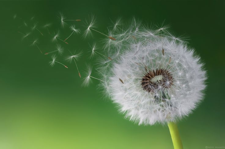 Dandelion Blowing in morning - null