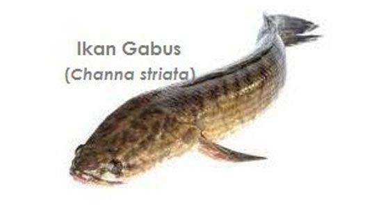 ikan gabus adalah sumber albumin bagi pasien yang kekurangan albumin(hipoalbumin), serta untuk terapi pengobatan, mempercepat penyembuhan luka bakar,