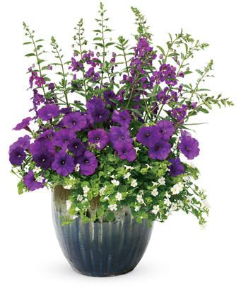 Bacopa, Angelonia, Petunia, 12 in. Substitute a Lobelia for the Petunia and it would be good for part sun. 8 plants in a 12 in pot will not survive long!