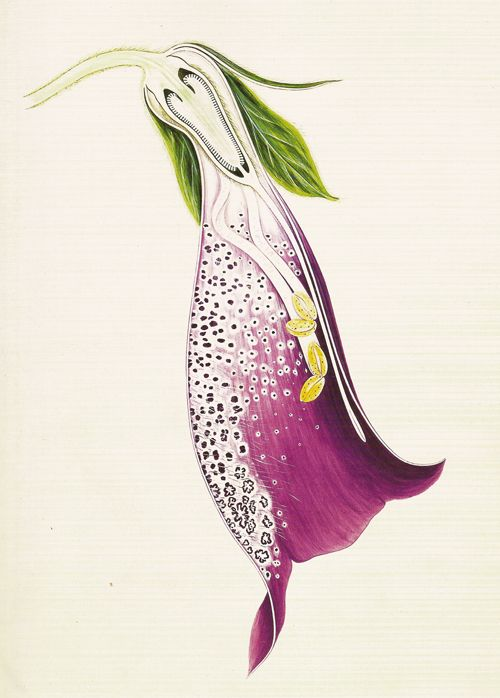Arthur Harry Church: The Anatomy of Flowers, foxglove digitalis purpurea.