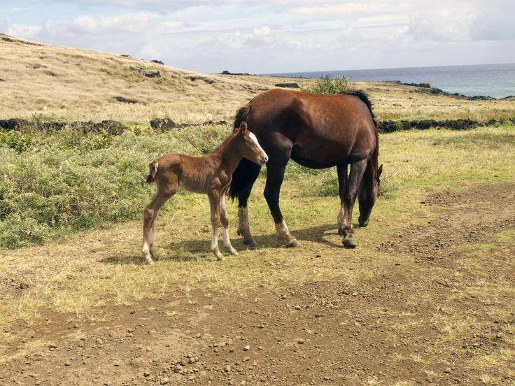 Wild horses on Easter Island..!