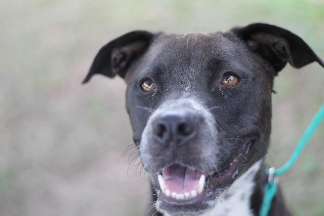 STARLA~ Pit Bull Terrier & Black and Tan Coonhound Mix • Young • Female • Large Humane Society of Marion County Ocala, FL