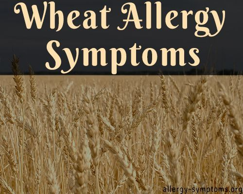 Wheat is the leading source of vegetable protein in human food, having higher protein content than other major cereals like maize (corn) or rice. However the protein present in wheat can lead to abnormal reaction to your immune system causing wheat allergy. http://allergy-symptoms.org/wheat-allergy-symptoms/