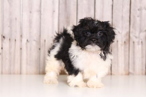 Zuchon puppy for sale in MOUNT VERNON, OH. ADN-43845 on PuppyFinder.com Gender: Male. Age: 9 Weeks Old