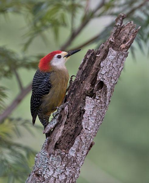 Jamaika: Karayip İntrotour - tropik ' i satın Kuş Gözlemciliği TURLARİ