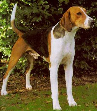 The American Foxhound is the state dog of Virginia. Yay Virginia! We have a state dog! They are easy-going, gentle and really good with kids and other animals.