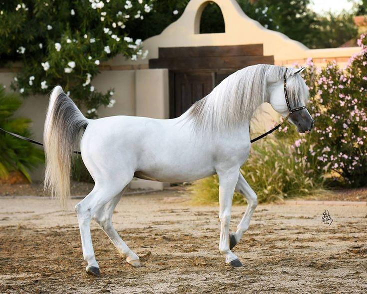 Картинки белых арабских лошадей