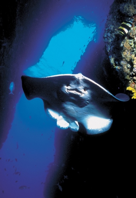 Sting Ray at the Poor Knights Islands - world class scuba diving!!