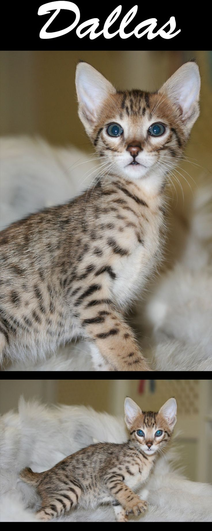 Best 25 Bengal cat for sale ideas on Pinterest