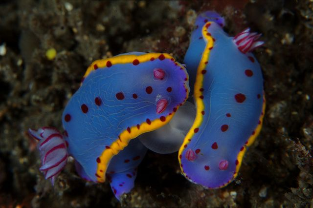 Hypselodoris bennetti - Nudibranch Mating. Nudibranchs, a group of sea slugs, are some of the most vividly colored animals in the oceans. They are hermaphrodites - a single animal is both male and female. by PacificKlaus, via Flickr
