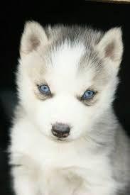 Resultado de imagen para fotos de perros siberianos blancos