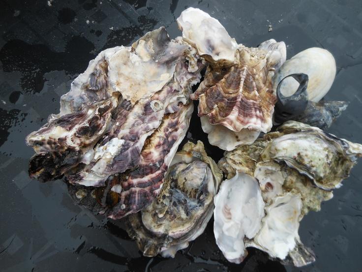 Japanse oesters, plaag in de waddenzee......