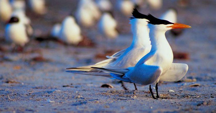 Patos o aves que vuelan al norte durante el invierno. Cuando las aves vuelan hacia el norte debido al invierno, por lo general son especies que siguen la migración austral. La migración austral aplica a aves que se reproducen en el hemisferio sur en lugares como Australia y América del Sur. Después de criar en el verano, estas aves vuelan hacia el norte durante el invierno del hemisferio sur, que es ...