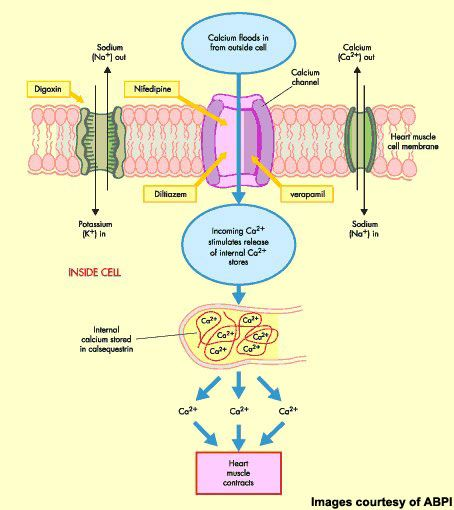 calcium channel blockers mechanism of action - Google Search
