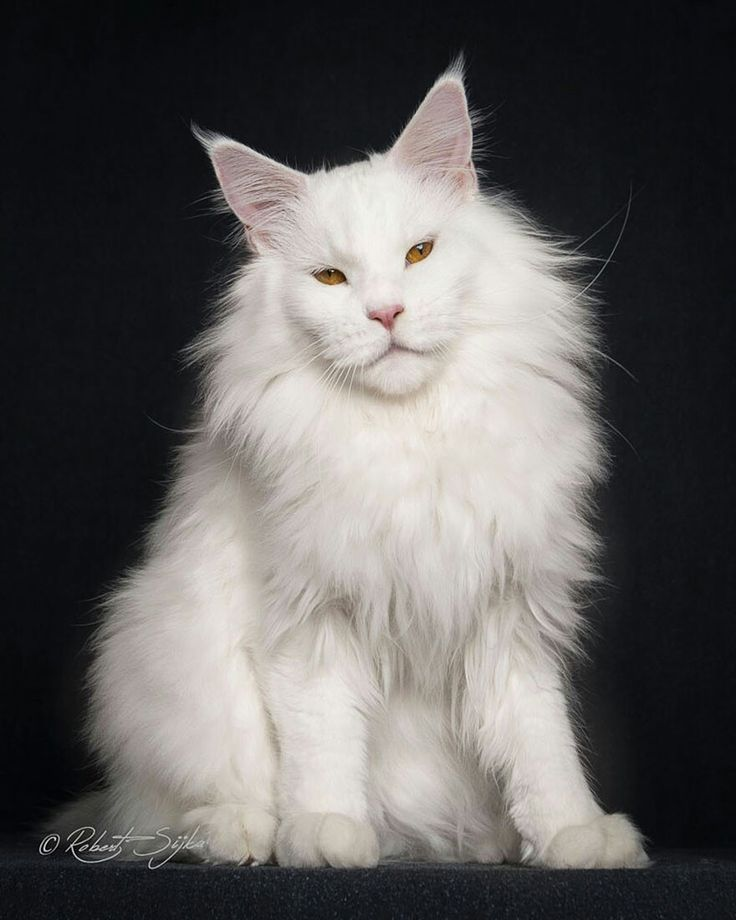 #MundoAnimal ☆ Gatos ☆ Maine Coon = Maior Raça de Gatos do Mundo, dos EUA ☆